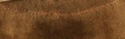 """Técnica de """"la tira"""". La cicatriz queda visible con pelo corto."""