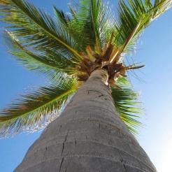 Palmera caribeña en St. Kitts & Nevis