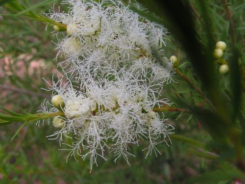 """Flor del árbol del te. Imagen de """"nieve en verano"""" de Melaleuca alternifolia"""