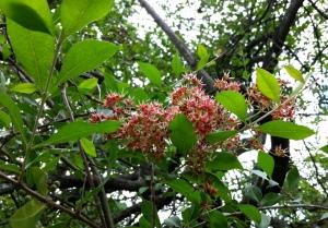 Árbol de la henna, Lawsonia inermis