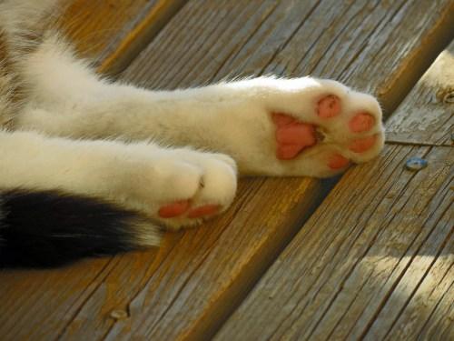 Enfermedad por arañazo de gato, uñas.