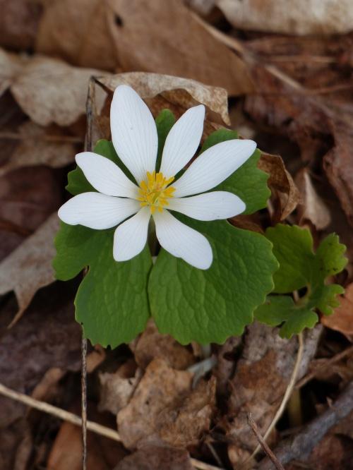 Aspecto de flor y hoja de Sanguinaria canadensis (Bloodroot).